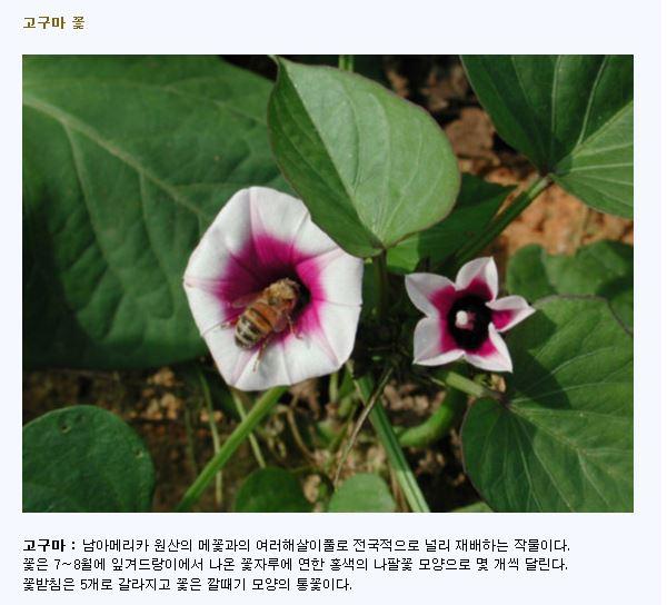 고구마 꽃.JPG