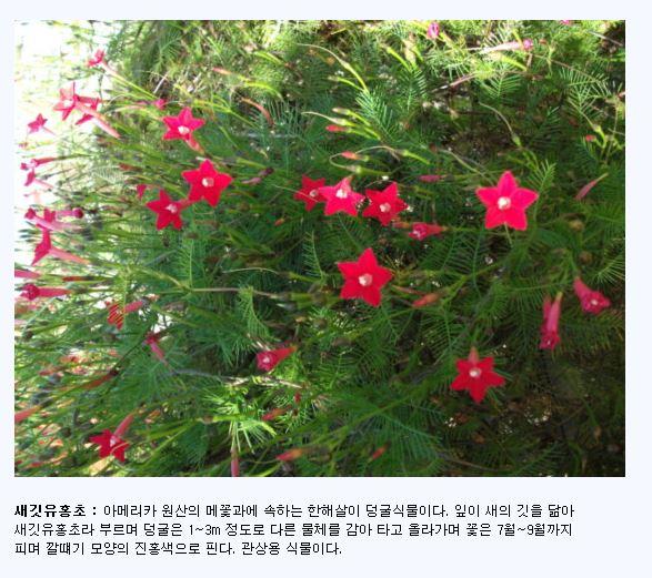 새깃유홍초.JPG