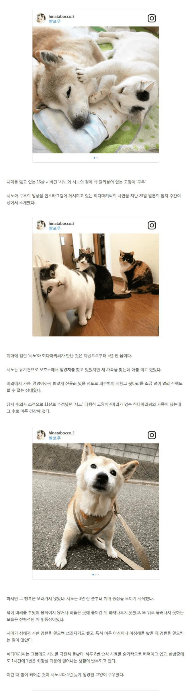 치매 걸린 시바견 보살피는 고양이1.png