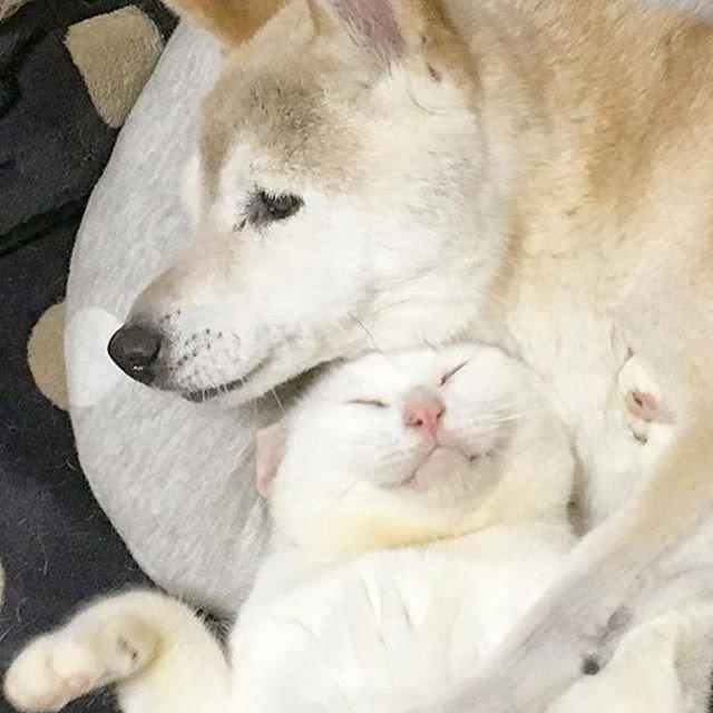 치매 걸린 시바견 보살피는 고양이4.jpg