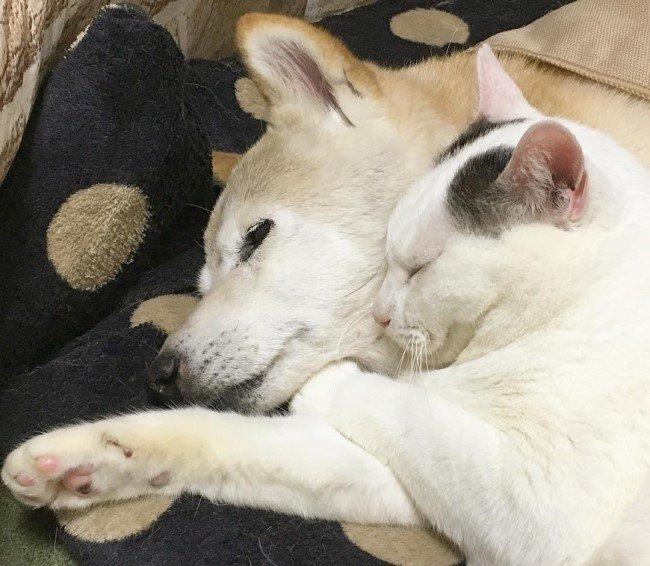 치매 걸린 시바견 보살피는 고양이7.jpg
