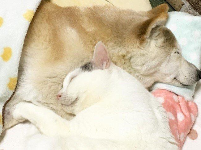 치매 걸린 시바견 보살피는 고양이8.jpg