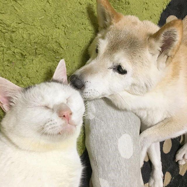 치매 걸린 시바견 보살피는 고양이5.jpg
