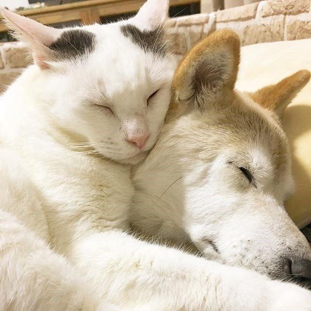 치매 걸린 시바견 보살피는 고양이3.jpg