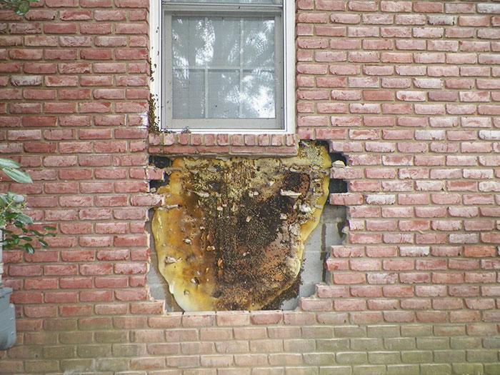 가정집 벽에서 발견된 엄청난 크기의 벌집4.jpg